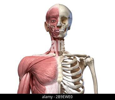 Vue avant du squelette de torse humain avec des muscles, sur fond blanc. Banque D'Images