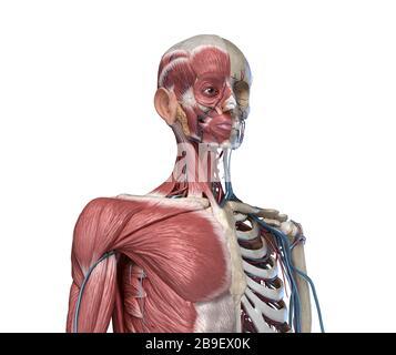 Vue avant du squelette du torse humain avec muscles, veines et artères, sur fond blanc. Banque D'Images