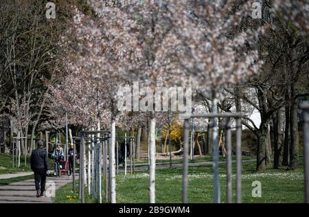 Fribourg, Allemagne. 24 mars 2020. Un homme marche dans le parc du lac sous des cerises ornementales en fleurs. Les gens sont appelés à garder leur distance à cause du coronavirus. Crédit: Patrick Seeger/dpa/Alay Live News