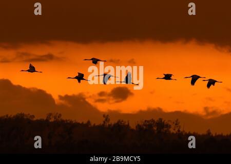 Troupeau migrateur de grues communes / grue eurasienne (Grus gris) volant au coucher du soleil pendant la migration, silhouetted contre le ciel orange Banque D'Images