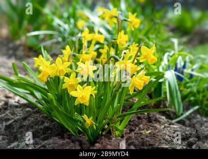 Petite Narcisse 'Tete-A-Tete' jonquilles dans un jardin. Banque D'Images