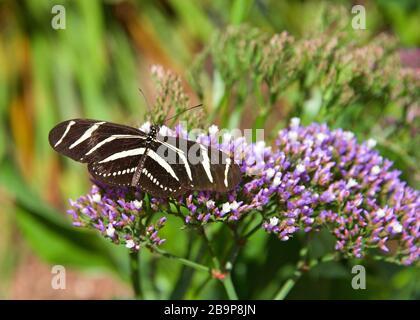 Heliconius charithméonia, le zébra de longue taille ou le zébra heliconian papillon buvant le nectar de petites fleurs violettes, vue de dessus Banque D'Images