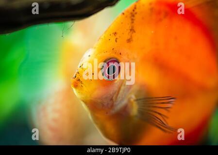 Portrait d'un rouge orange tropical Symphysodon discus poisson dans un réservoir à poissons.