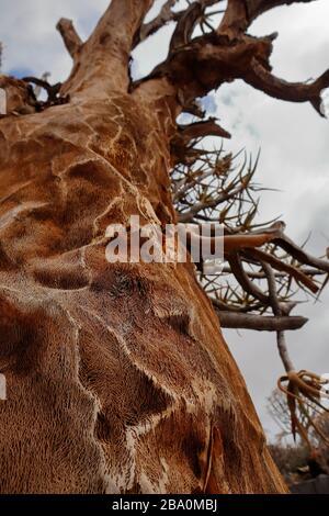 Détail de l'intérieur spongieux d'un arbre de quiver mort dans la forêt de quiver Tree près de la ville de Nieuwoudtville, province du Nord du Cap, Afrique du Sud Banque D'Images