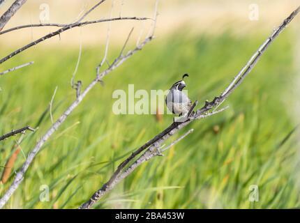 Un Quail de Californie ' Callipepla californica ' est assis sur une branche. Banque D'Images