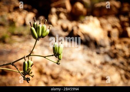 Gros plan des ampoules de fleurs avec Desert Rocks en arrière-plan