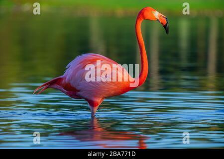 Flamingo debout dans le lac, superbe vue au coucher du soleil Banque D'Images