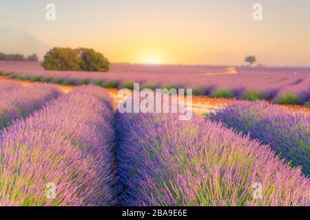 Lever du soleil sur les champs de lavande en Provence, dans le sud de la France