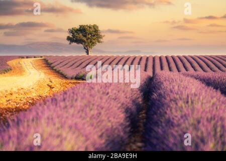 Lever du soleil sur les champs de lavande en Provence, dans le sud de la France Banque D'Images
