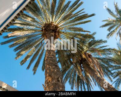 Photo colorée d'un jardin de palmiers au Palais de Bahia à Marrakech, Maroc prise en janvier 2020 avec une perspective angulaire du sol vers le haut