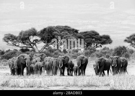 L'image du troupeau d'éléphants d'Afrique (Loxodonta africana) dans le parc national d'Amboseli, au Kenya Banque D'Images
