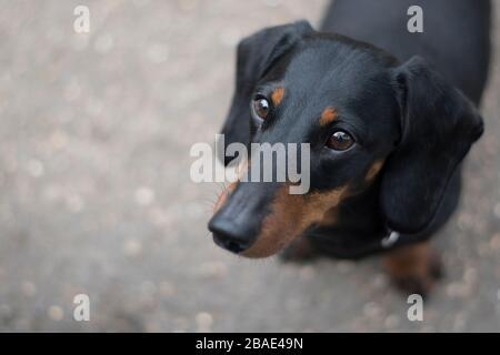 Gros plan d'un petit chien de saucisse de dachshund à poil court sur une promenade.