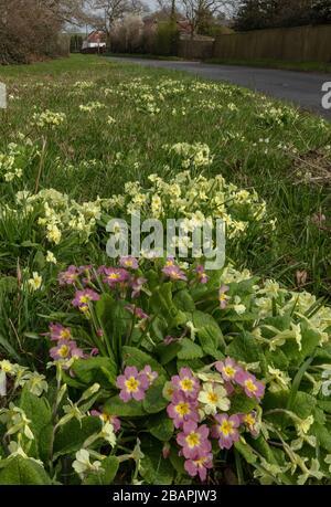 En bordure de route avec Primroses, Primula vulgaris, (y compris les formes roses), aux côtés d'Ashley Wood à Tarrant Keyneston, Dorset.