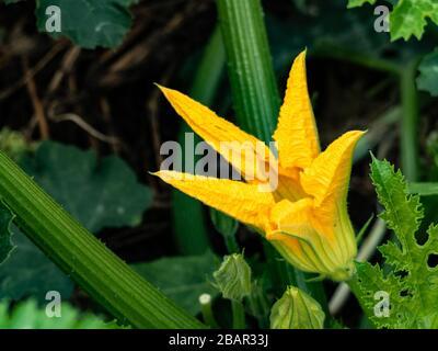 fleur de courgettes dans le jardin de proximité Banque D'Images