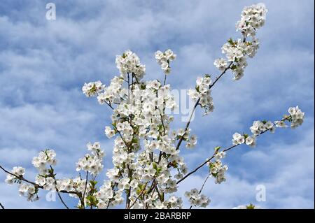 Blossom blanc, Sidcup, Kent. ROYAUME-UNI