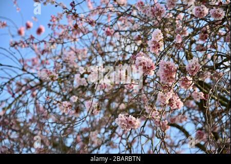 Cerisier Blossom, Sidcup, Kent. ROYAUME-UNI