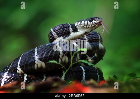 Serpent de la Boiga prêt à frapper, Indonésie Banque D'Images