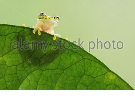 Grenouille en verre réticulée (Hyalinobatrachium Valerioi) Costa Rica Banque D'Images