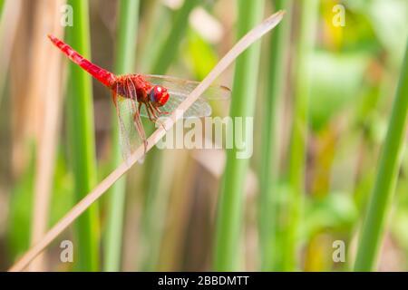La libellule rouge regardant l'appareil photo et l'arrière-plan vert