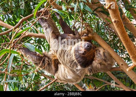 Mignonne à gorge brune à trois-toed rampant sur un arbre Banque D'Images