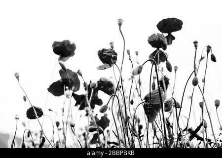 Un champ de pavot fleuri contre un ciel lumineux en noir et blanc. Banque D'Images