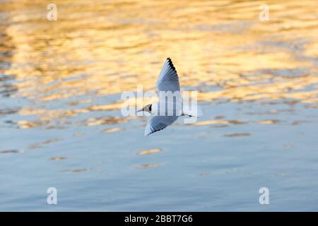 Les mouettes du Danube survolent le fleuve au coucher du soleil Banque D'Images