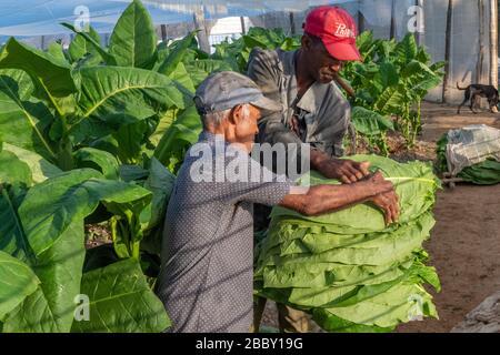 Travailleurs à la plantation Hector Luis Tobacco, Juan y Martinez, Pinar del Rio, Cuba