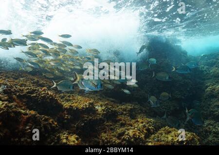 École de poissons (béliers de mer) avec rupture de vagues sur le rocher sous l'eau en mer Méditerranée, Côte d'Azur, France Banque D'Images