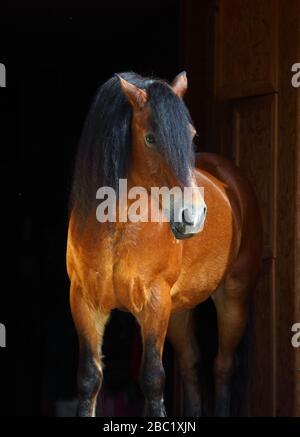 Portrait cheval Paso Fino au stud farm Banque D'Images