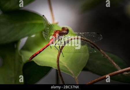 Une libellule Ruby Meadowhawk voit quelque chose de plus intéressant