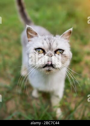 gros plan de la tête cat. Race de Shorthair exotique