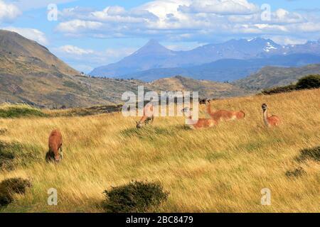 Guanacos dans le parc national de Torres del Paine, région de Magallanes, Patagonie, Chili, Amérique du Sud