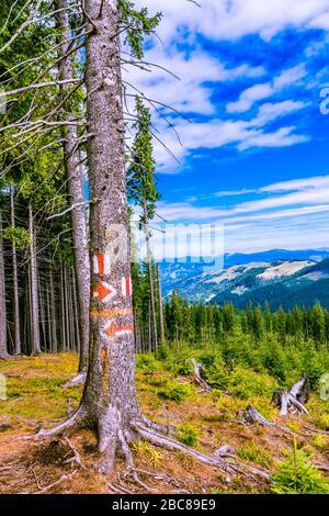 Une marque sur un magnifique tronc entouré de jeunes pins. Banque D'Images