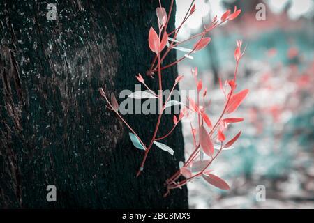 La régénération des feuilles d'arbre après les feux de brousse en Australie Banque D'Images