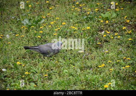 Un pigeon gris marche au milieu d'un champ de pissenlit
