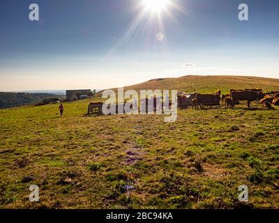 Les fermiers de montagne dans le Cantal tout en laitant le bétail des Salers sur le pâturage alpin au Col de Néronne, Alm des Buron d'Algour. Banque D'Images