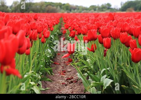 Red Tulip Field en Hollande, aux pays-Bas