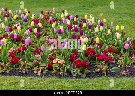 Bournemouth, Dorset Royaume-Uni. 4 avril 2020. Fleurs colorées aux jardins inférieurs de Bournemouth - tulipes et polyanthus bask au soleil, contrairement aux visiteurs, avec les jardins désertés en raison des restrictions de Coronavirus. Crédit: Carolyn Jenkins/Alay Live News Banque D'Images