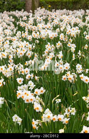 Bournemouth, Dorset Royaume-Uni. 4 avril 2020. Fleurs colorées aux jardins inférieurs de Bournemouth - narcissus bask au soleil, contrairement aux visiteurs, avec les jardins désertés en raison des restrictions de Coronavirus. Crédit: Carolyn Jenkins/Alay Live News Banque D'Images