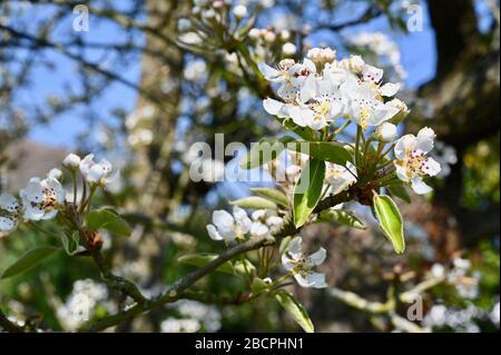 Fleur de poire. Sidcup, Kent. ROYAUME-UNI
