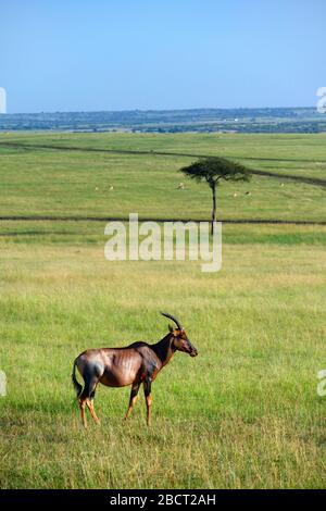 Topi (Damaliscus lunatus jimela), Lone top dans un paysage africain, réserve nationale de Masai Mara, Kenya, Afrique Banque D'Images