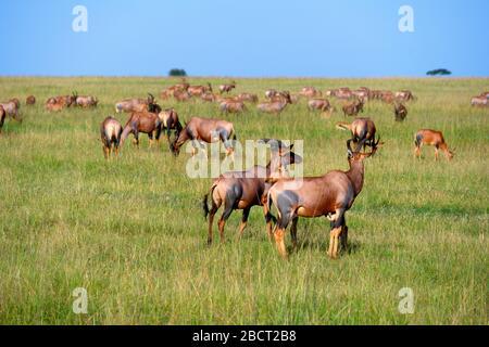 Topi (Damaliscus lunatus jimela). Troupeau de topi dans un paysage africain, réserve nationale de Masai Mara, Kenya, Afrique Banque D'Images