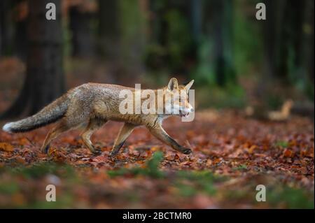 Renard rouge de la vue latérale dans la forêt profonde. Renard marchant l'automne avec des feuilles tombées. Vulpes Vulpes Banque D'Images