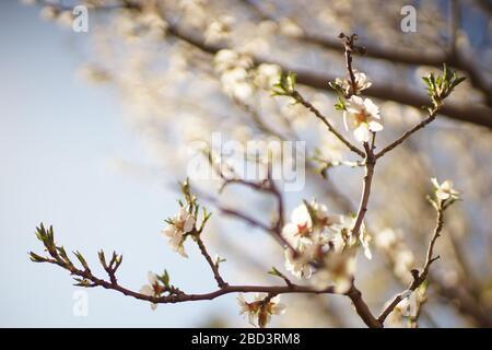 Arbre Amond avec de grandes fleurs blanches dans le ciel bleu.