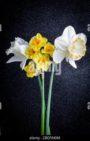 Gros plan sur différents types de fleurs de daffodil sur un fond noir texturé. Banque D'Images