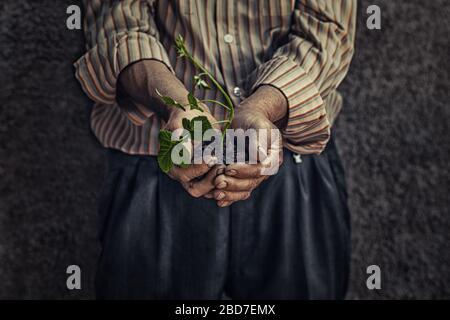 Gros plan image rognée de la vieille main de Farmer froissée tenant une plante fraîche jeune verte germe avec le sol isolé sur fond gris foncé mur. Symbole de Banque D'Images