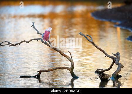 Galah sur la branche de l'arbre avec le coucher du soleil se reflétant sur l'étang. Pris dans le parc national de Sturt