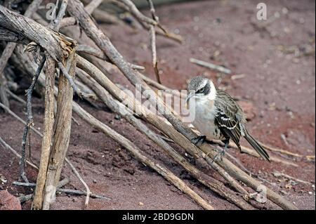 Le galápagos mockingbird (Mimus parvulus) est une espèce d'oiseau de la famille des Mimidae
