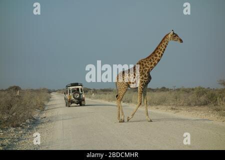 Vue latérale sur la girafe en marchant dans une rue à travers le parc national Etosha en Namibie. 4x4 en arrière-plan avec les touristes qui regardent le safari.
