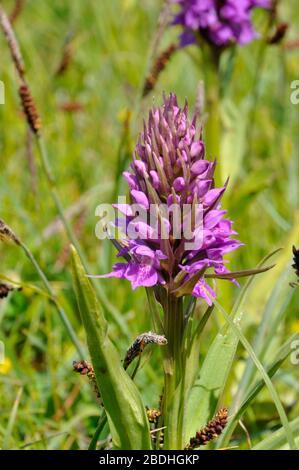 Southern Marsh Orchid 'actylorbiza praetermissa',fleurs juin,ouverture juste;dunes de sable et prairies humides,Berrow, Somerset, Royaume-Uni